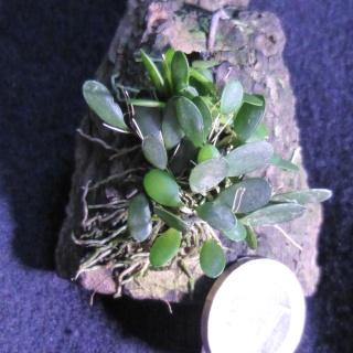 Miniatur-Orchideen 2. Teil - Seite 24 Pleuro12