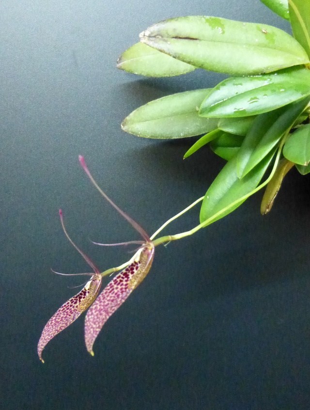 Miniatur-Orchideen 2. Teil - Seite 21 Restre14
