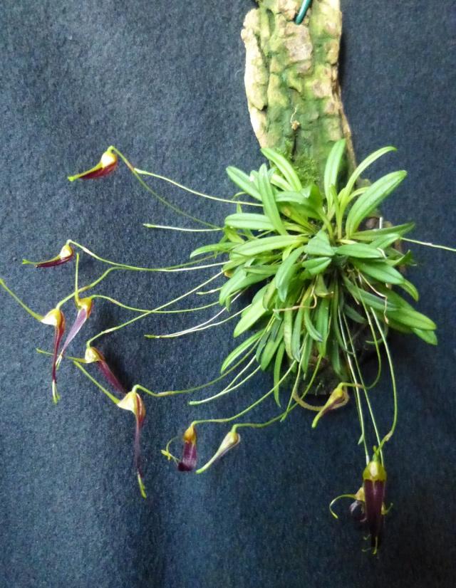 Miniatur-Orchideen 2. Teil - Seite 21 Triset13