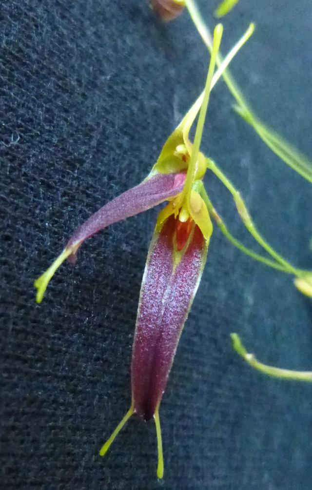 Miniatur-Orchideen 2. Teil - Seite 21 Triset16