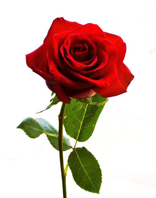 La rose à dix - Page 3 Rose10