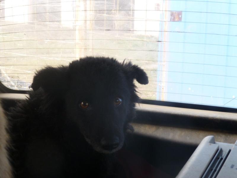 chien89 - SHAMTI, F-Type Mudi, taille moyenne, 15 kg, née 2012 (BACKA) Pris en charge SPA DU 47 89-210