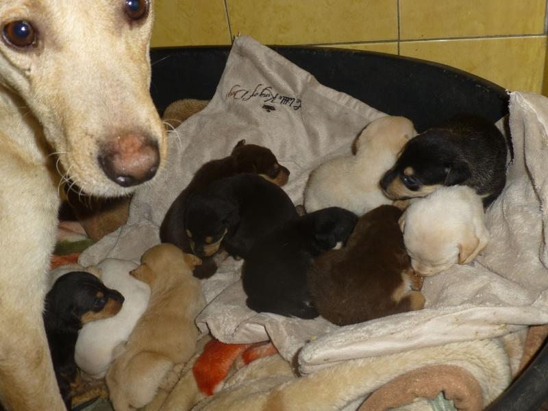 LUZZ EX CHIEN110 F-X, moyenne, née 2013 et ses bébés (Fourrière BACKA) Prise en charge SPA Haguenau Family10