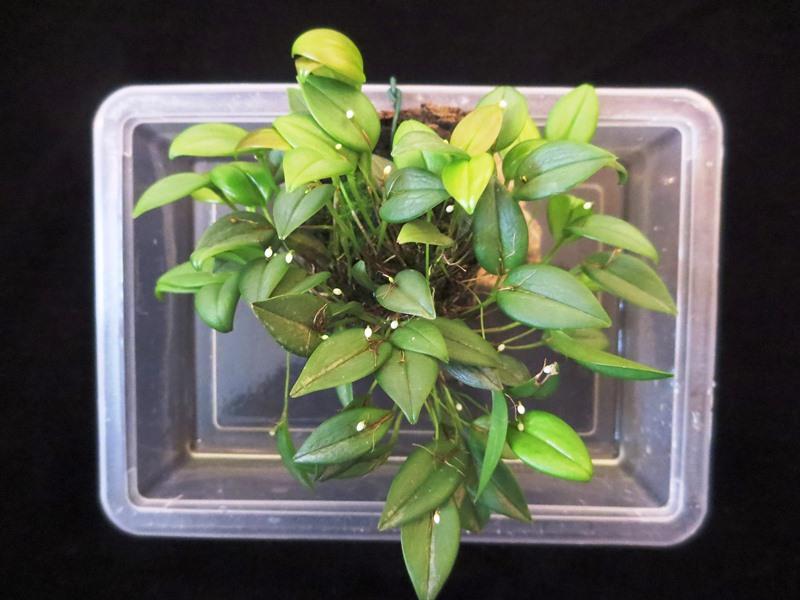 Miniatur-Orchideen Teil 3 Pleuro11