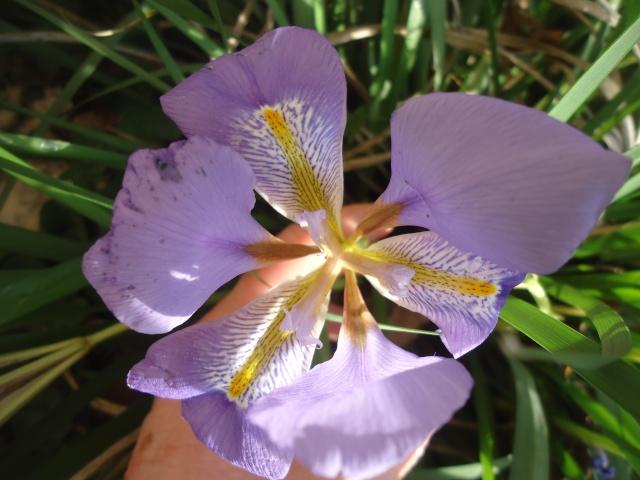 Iris unguicularis ou Iris d'Alger - Page 4 Dsc07431