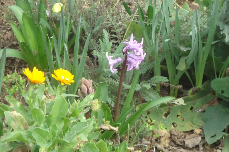 Jacinthe , Hyacinthus - Page 6 Dsc07821