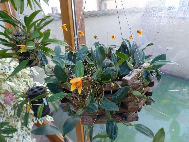 Bulbophyllum pardalotum Bulbop14