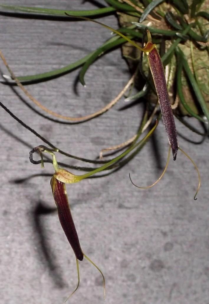 Trisetella scobina Triset13