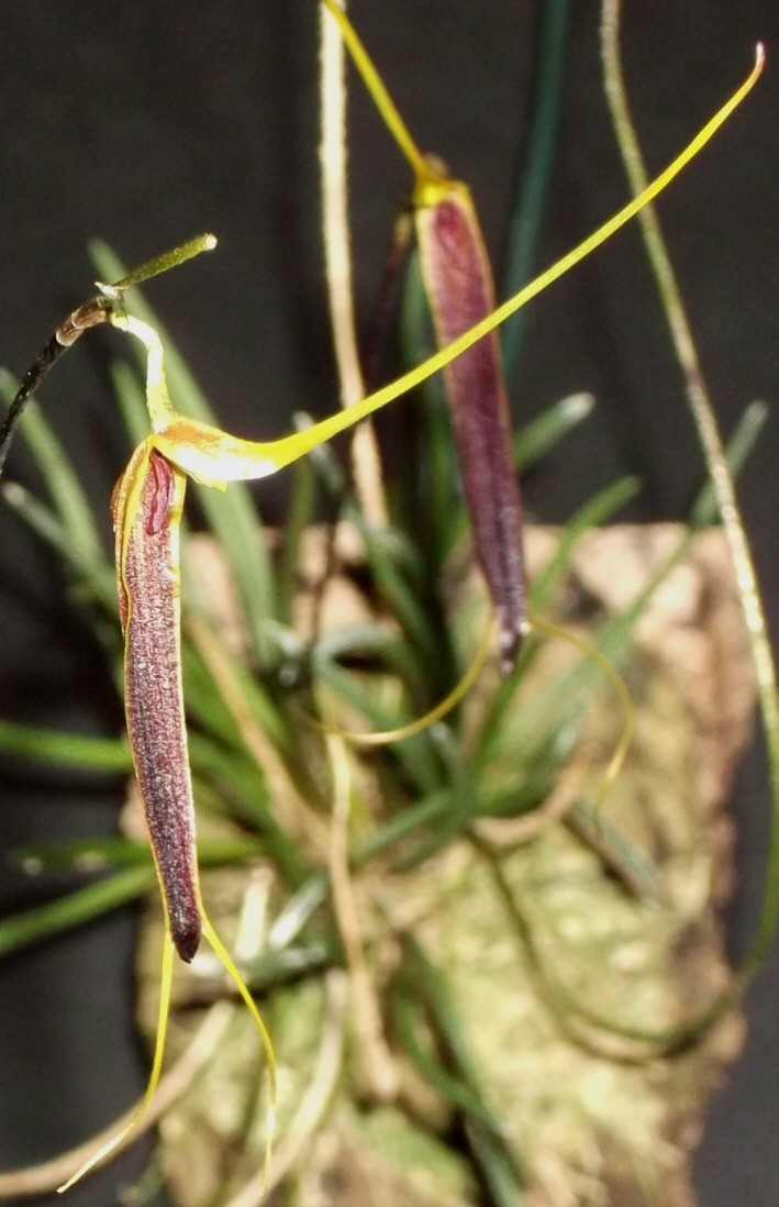Trisetella scobina Triset16