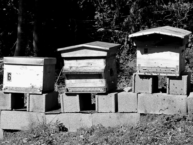 Les ruches, et les abeilles. P1020611