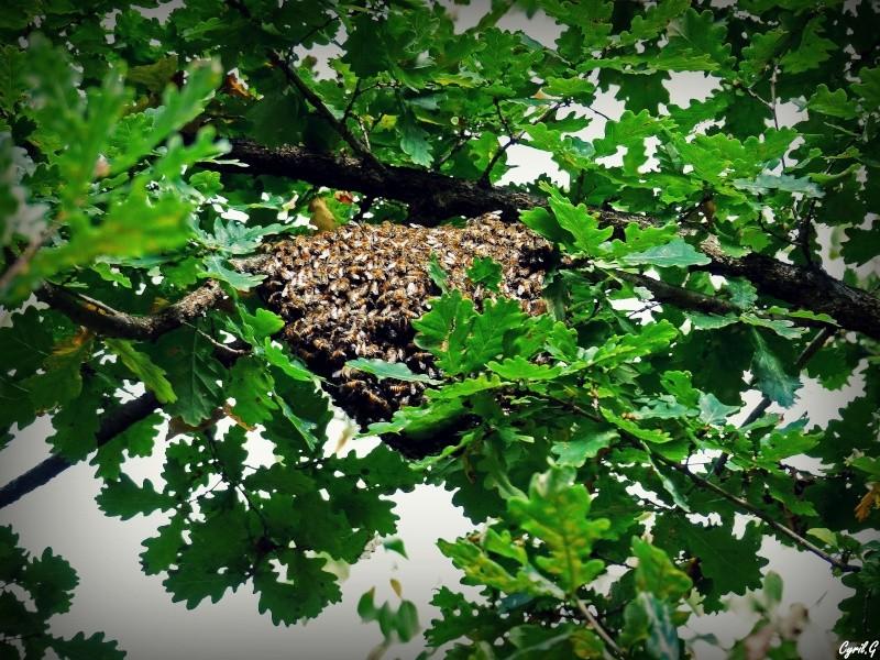 Les ruches, et les abeilles. P1020613