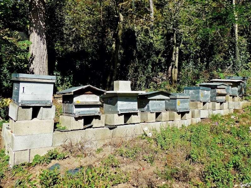 Les ruches, et les abeilles. P1020614