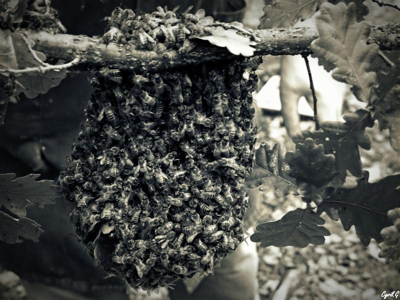 Les ruches, et les abeilles. P1020710