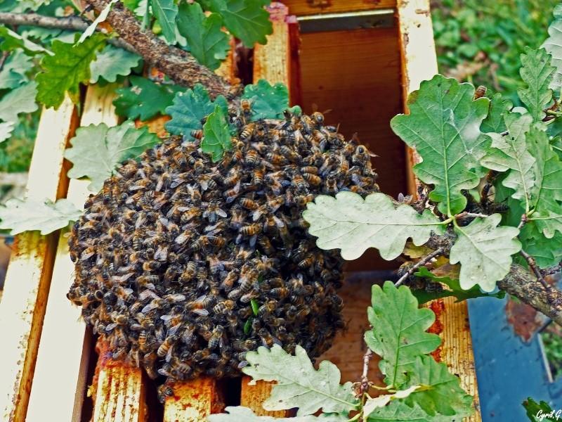 Les ruches, et les abeilles. P1020711