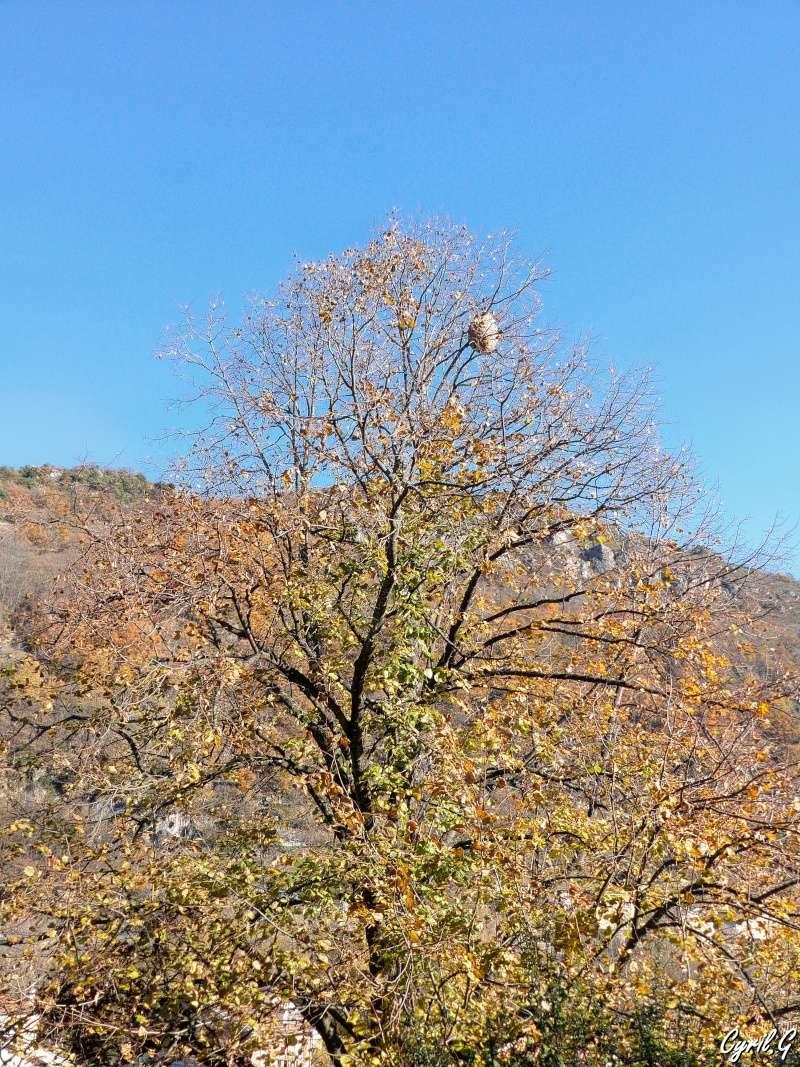 Le nid de frelon P1030810