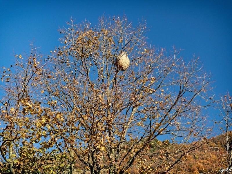 Le nid de frelon P1030811
