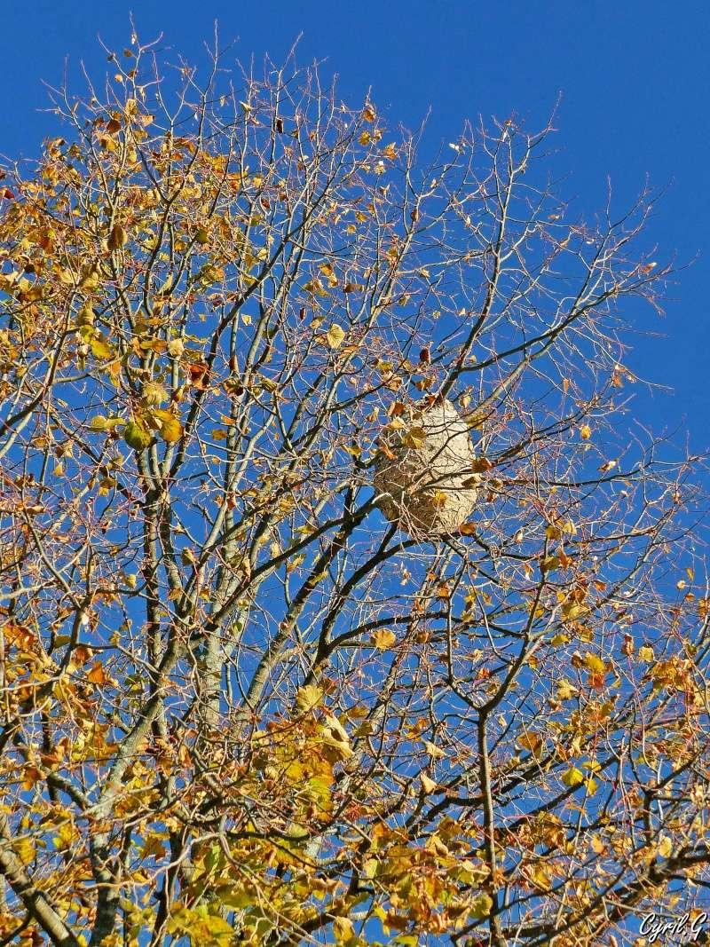 Le nid de frelon P1030812