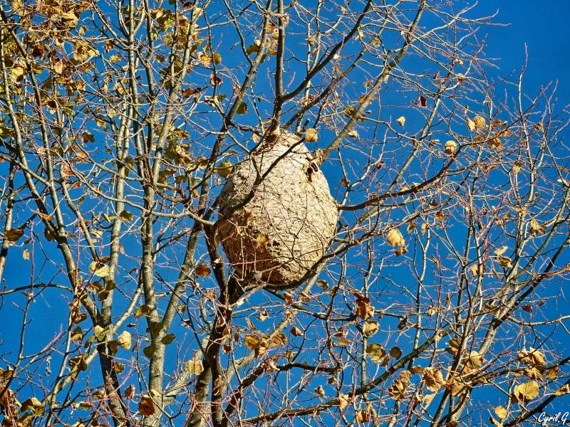 Le nid de frelon P1030814