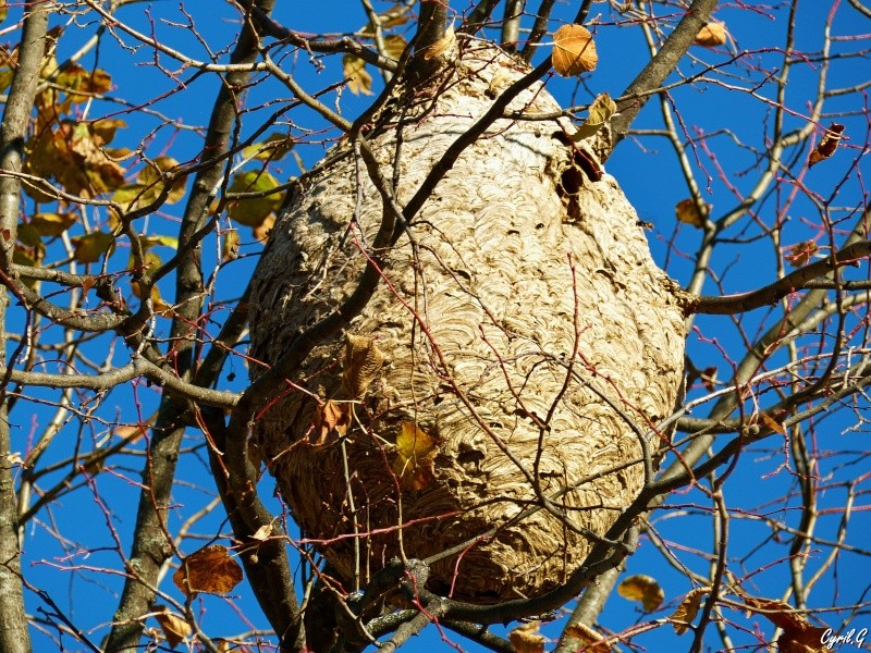 Le nid de frelon P1030815