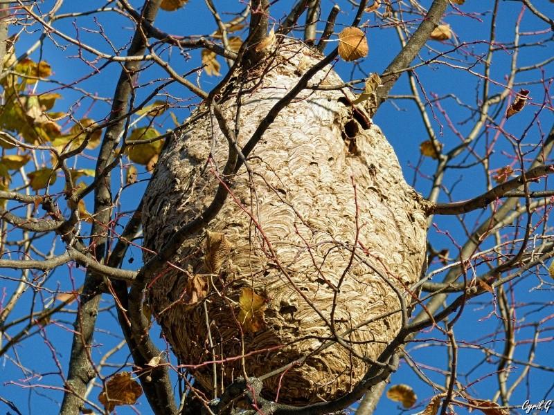 Le nid de frelon P1030816