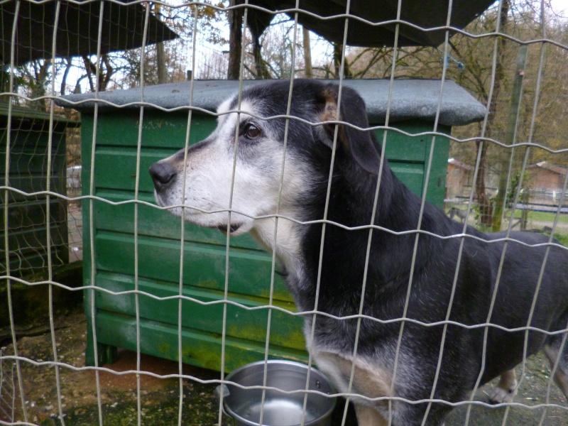 BEUCK - x labrador/beauceron 12 ans (10 ans de refuge) - Refuge Clochards Poilus à Tabanac (33) P1010416