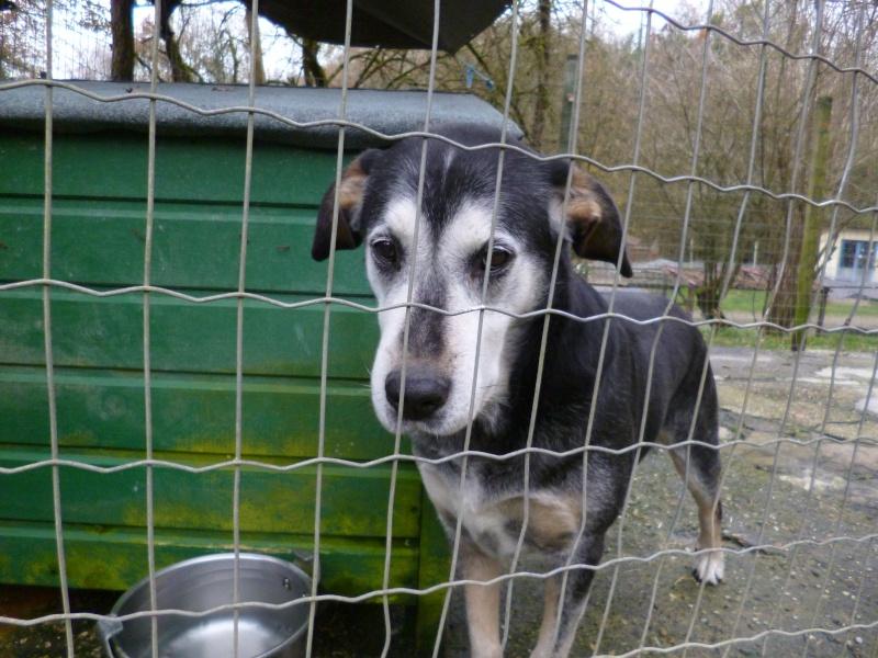 BEUCK - x labrador/beauceron 12 ans (10 ans de refuge) - Refuge Clochards Poilus à Tabanac (33) P1010417