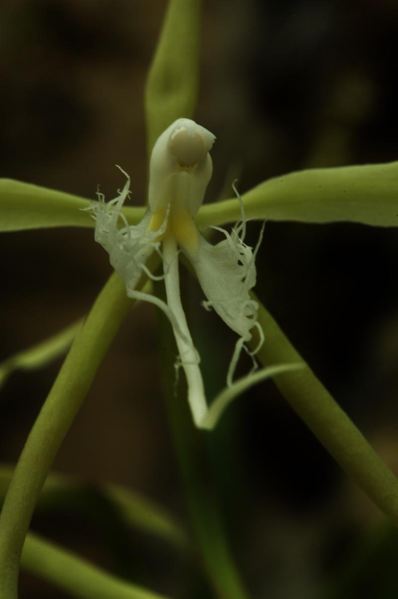 Epidendrum ciliare 2016-014