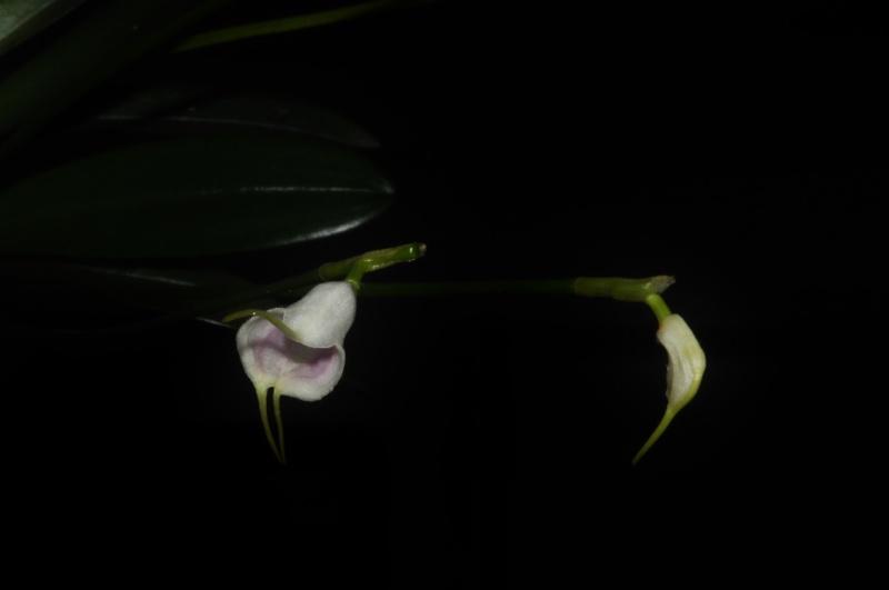 Masdevallia infracta var. albida 2016-018