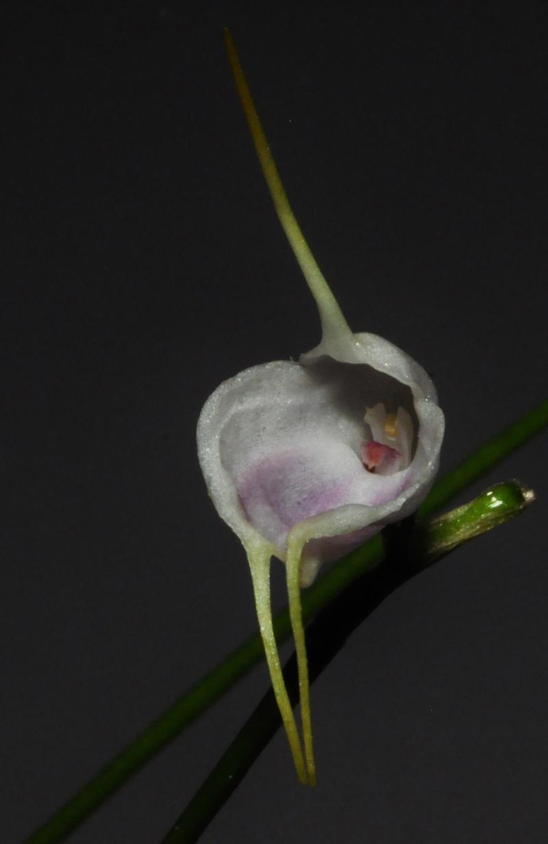 Masdevallia infracta var. albida 2016-019