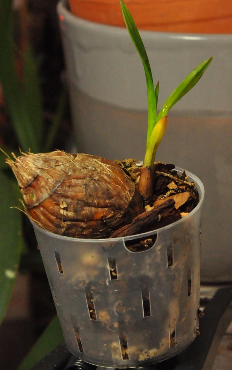 encyclia cordigera semi-alba 2016-037