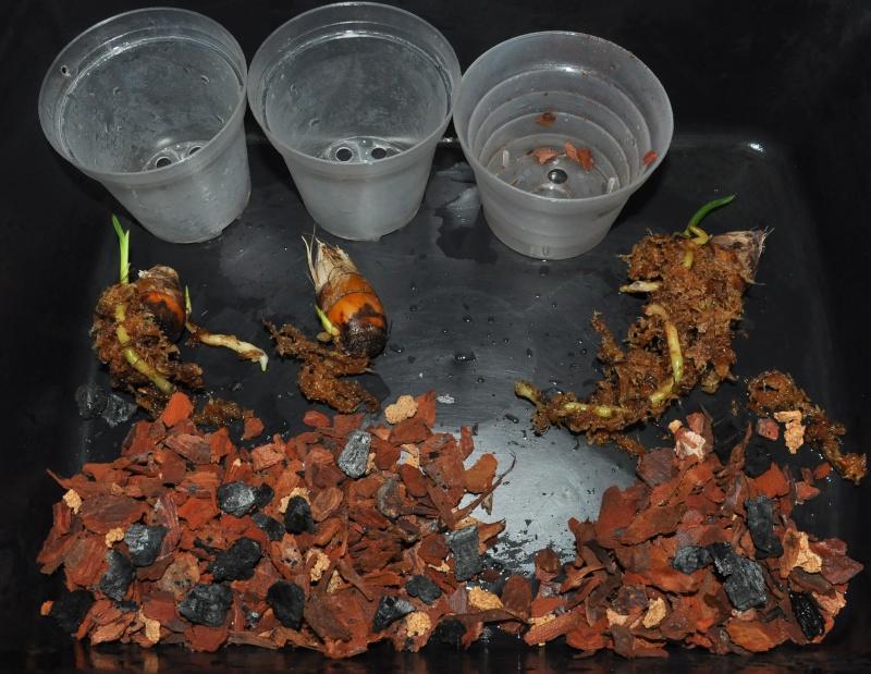encyclia cordigera semi-alba 2016-038