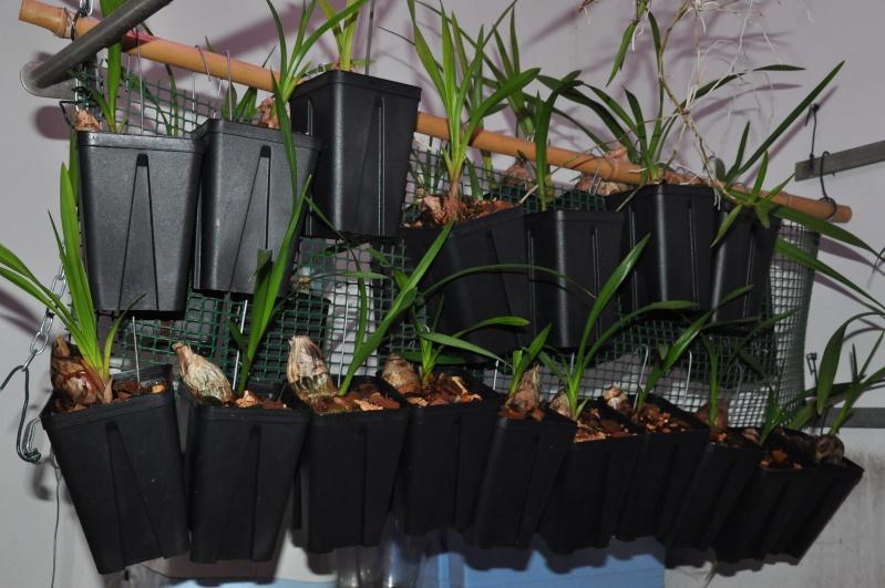 encyclia cordigera semi-alba 2016-040