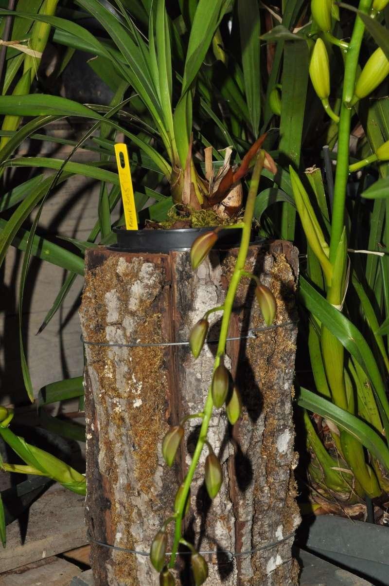 encyclia cordigera semi-alba 2016-041