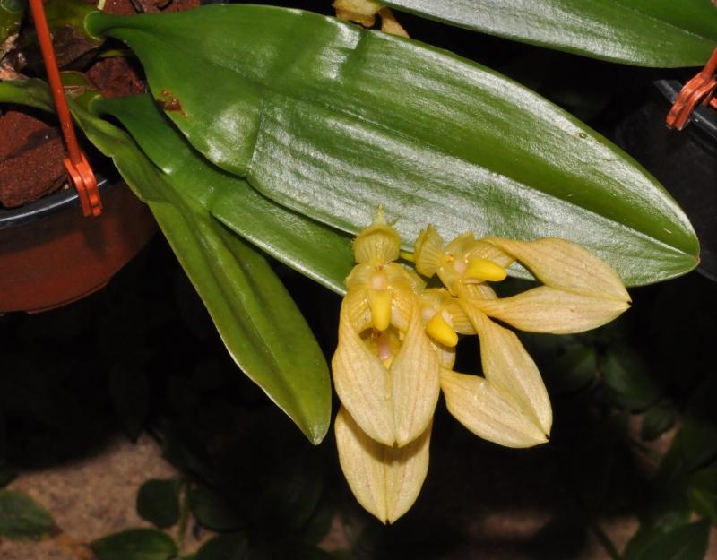 les orchidées du val d'Yerres Bulbop11