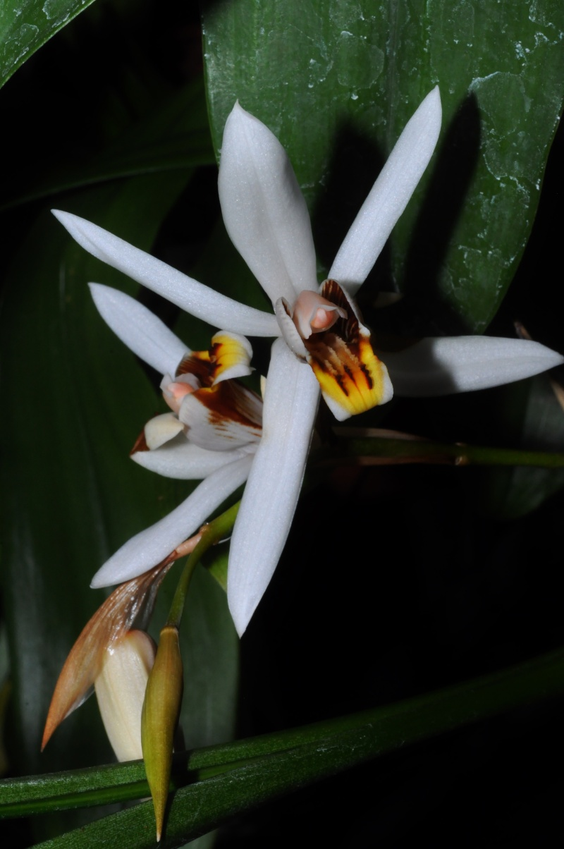 les orchidées du val d'Yerres Coelog10
