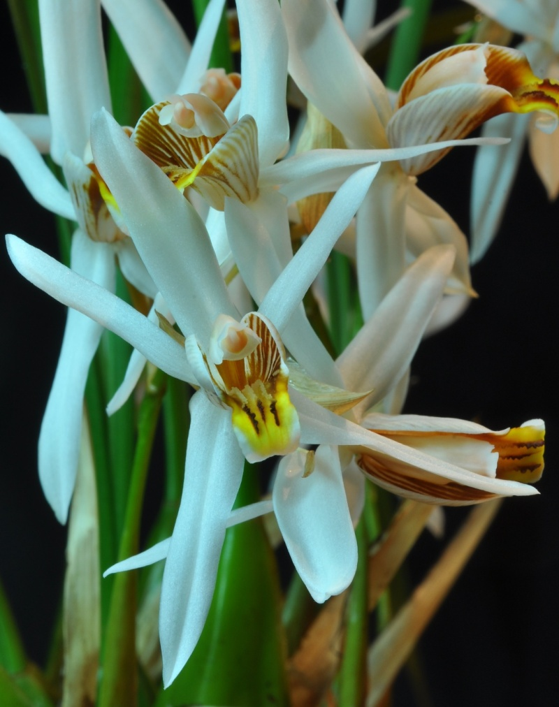Coelogyne graminifolia Coelog12