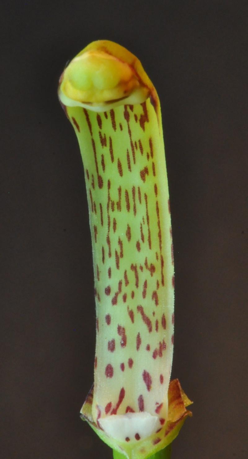 Cymbidium erythraeum Cymbid20