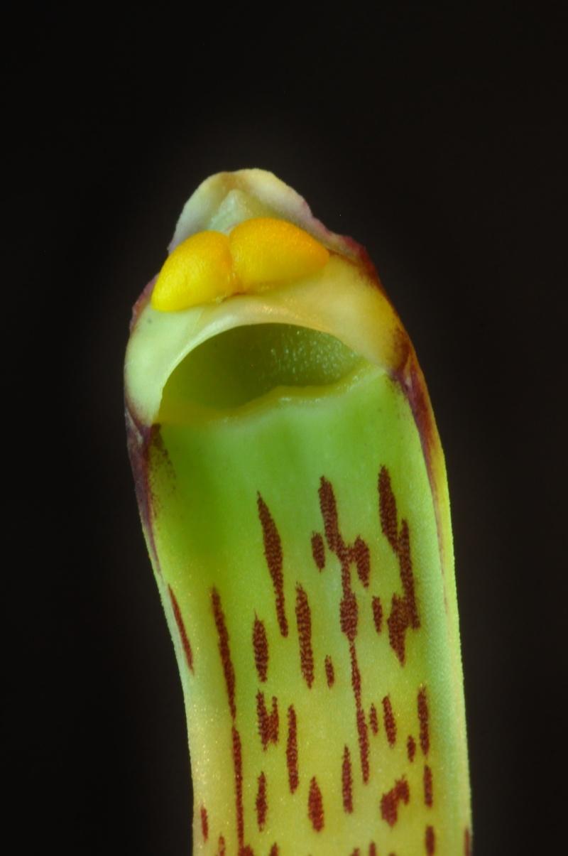 Cymbidium erythraeum Cymbid21