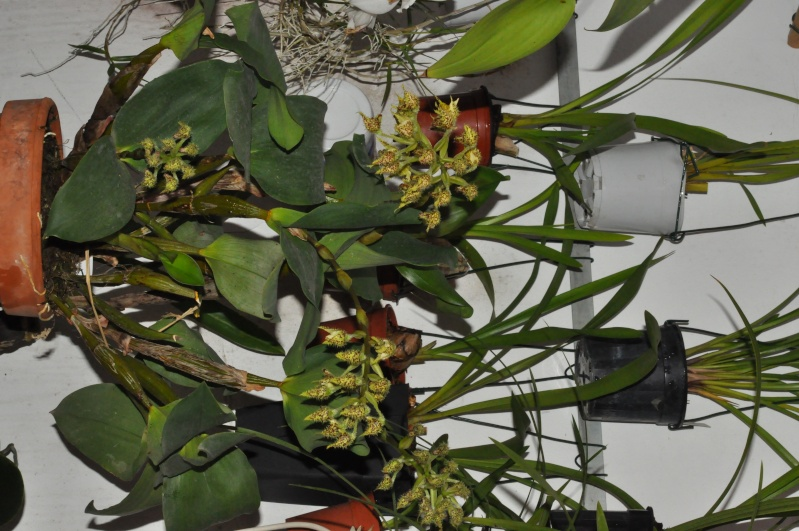 Dendrobium polysema Dendro10