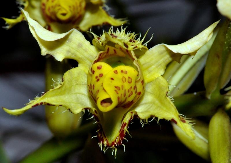 Dendrobium polysema Dendro12