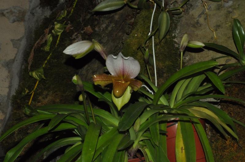 paphiopedilum Dsc_5811