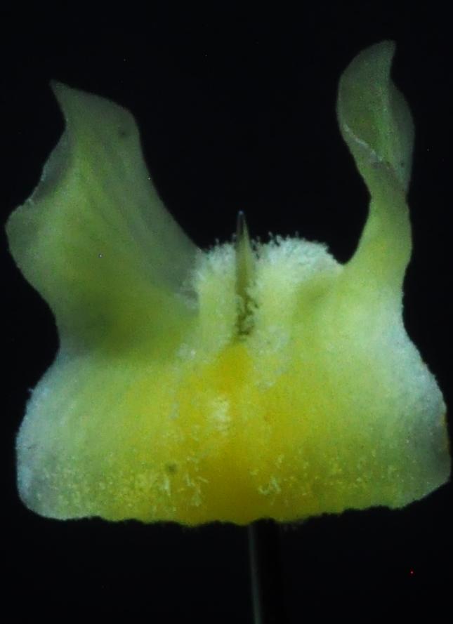 Cymbidium dayanum var.alba Dsc_6210