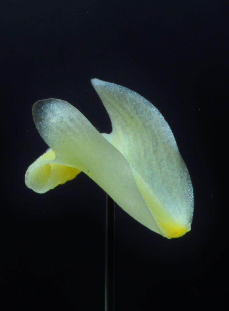 Cymbidium dayanum var.alba Dsc_6211