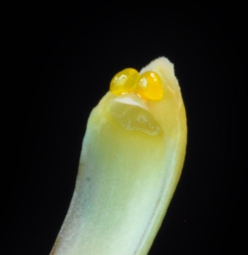 Cymbidium dayanum var.alba Dsc_6214