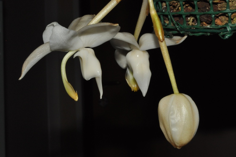 Stanhopea candida Dsc_6611