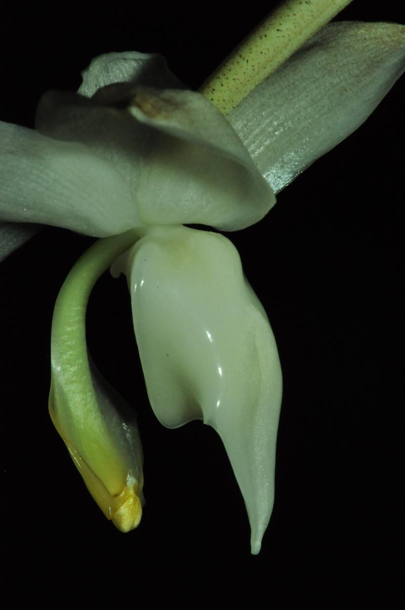 Stanhopea candida Dsc_6612