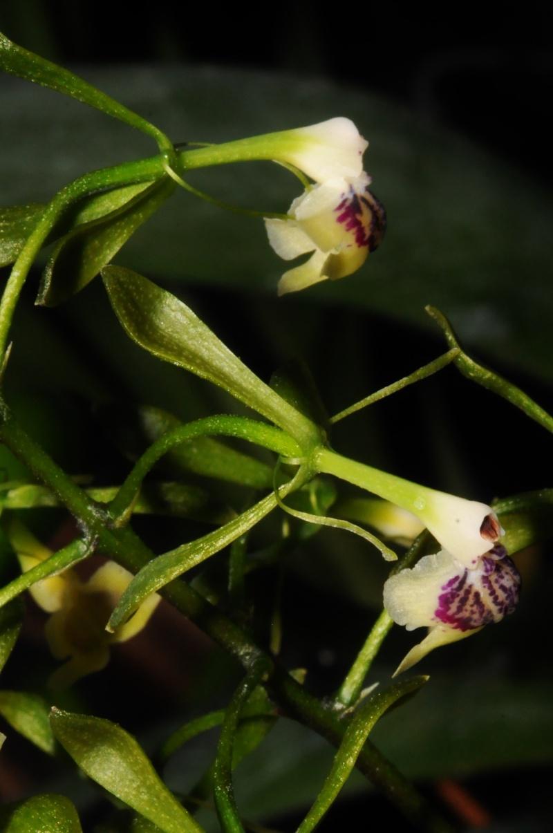 les orchidées du val d'Yerres Epiden11