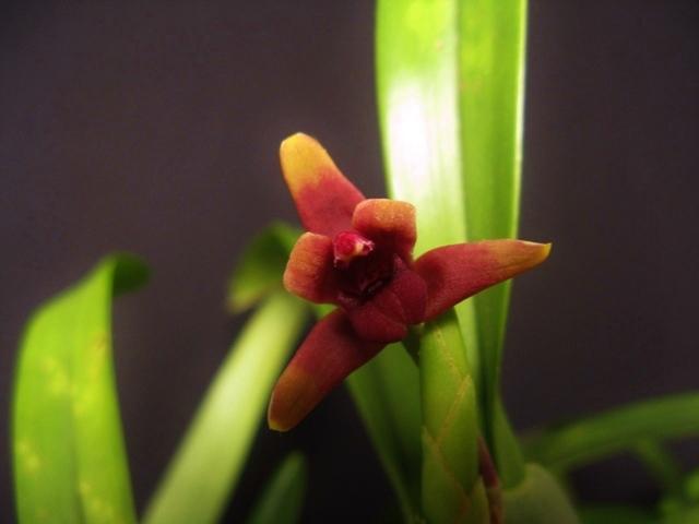 Maxillaria variabilis - Page 2 Maxill10