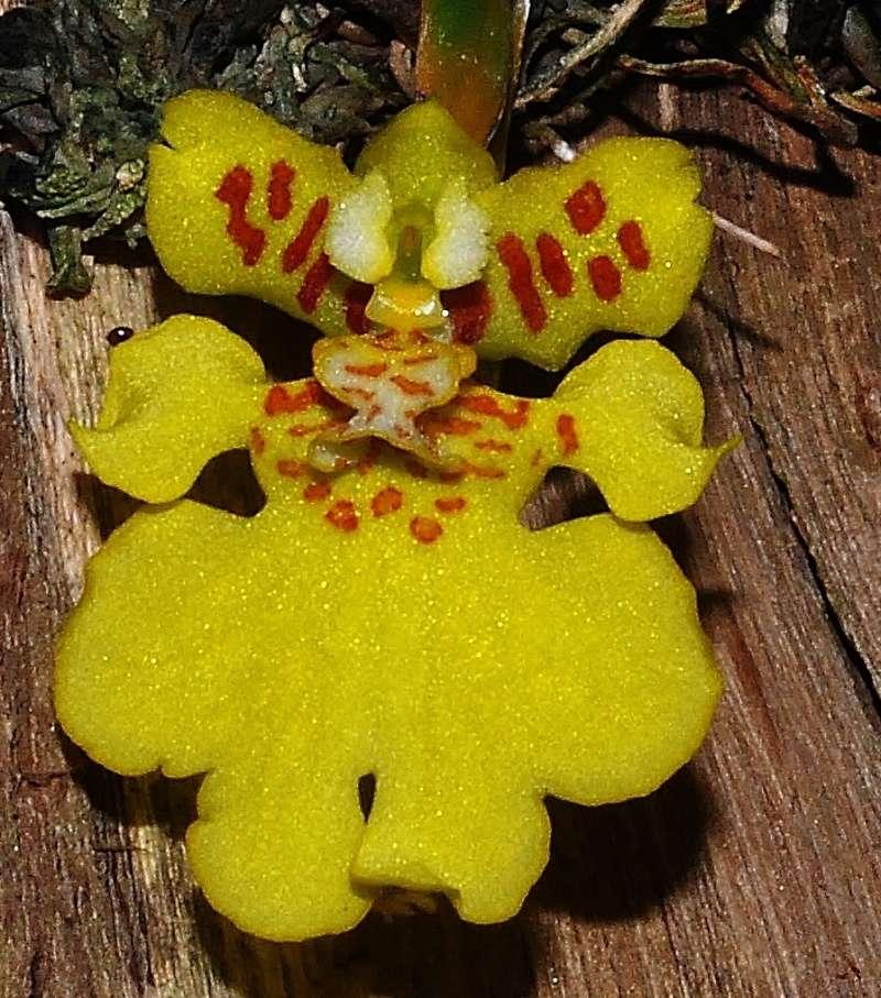 les orchidées du val d'Yerres Psygmo10