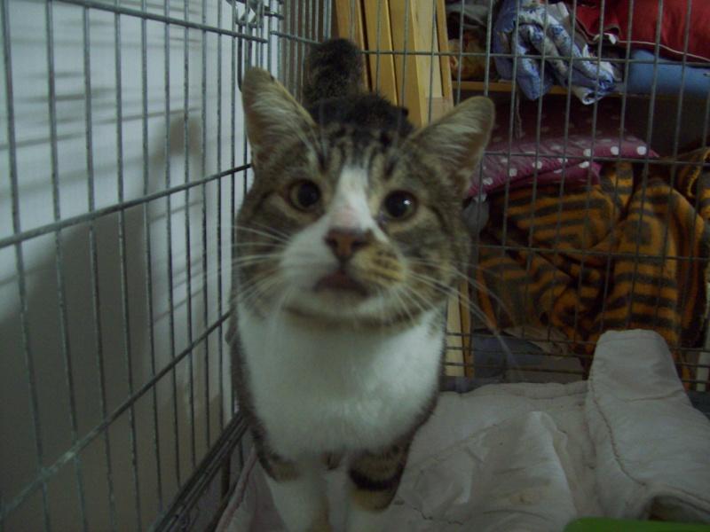nelson - NELSON FIV+ gentil chat tabby et blanc Catala12